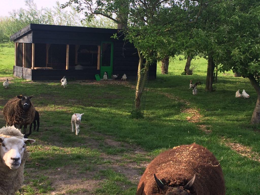 Kippen en schapen in de boomgaard