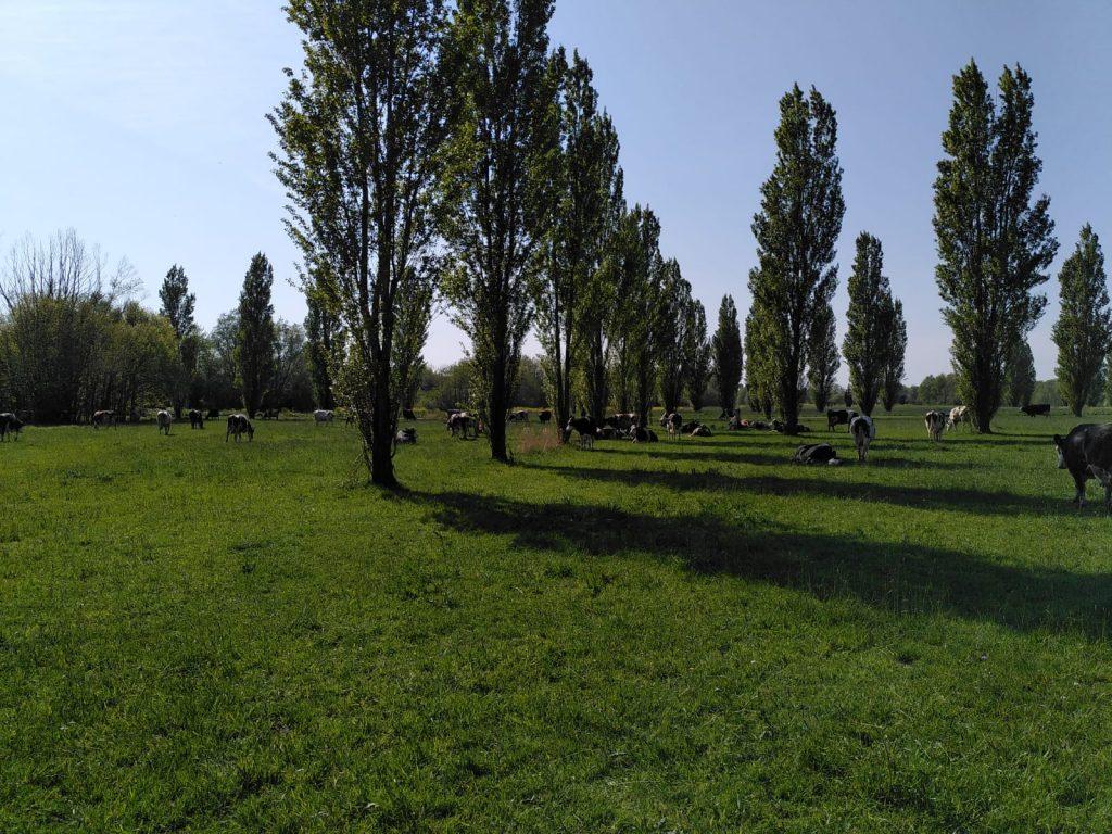 Koeien in het recreatiegebied tussen de bomen