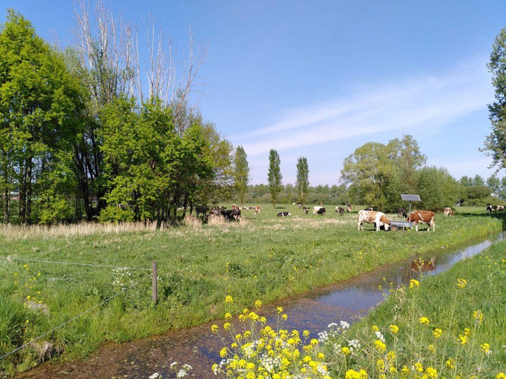 Koeien grazen in het recreatiegebied langs een sloot