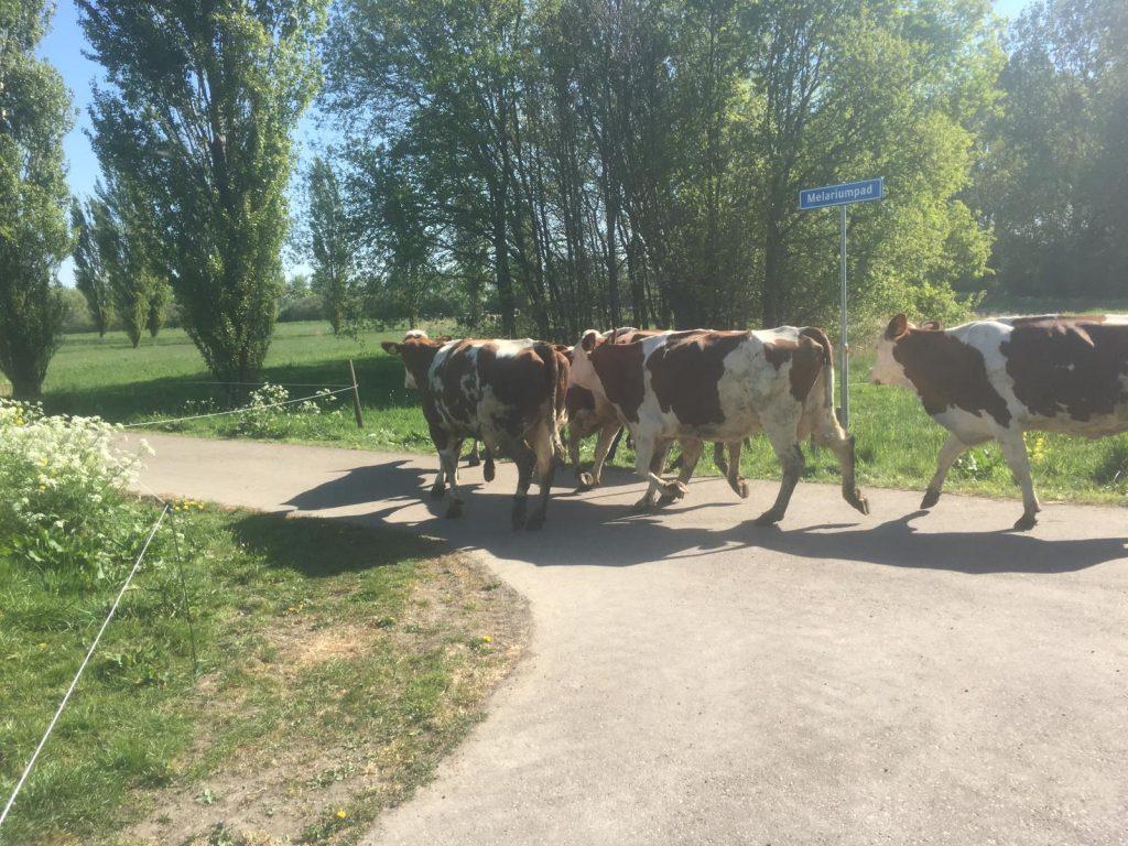 Koeien op weg naar het recreatiegebied