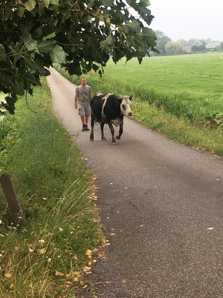 Koe ophalen na de vakantie